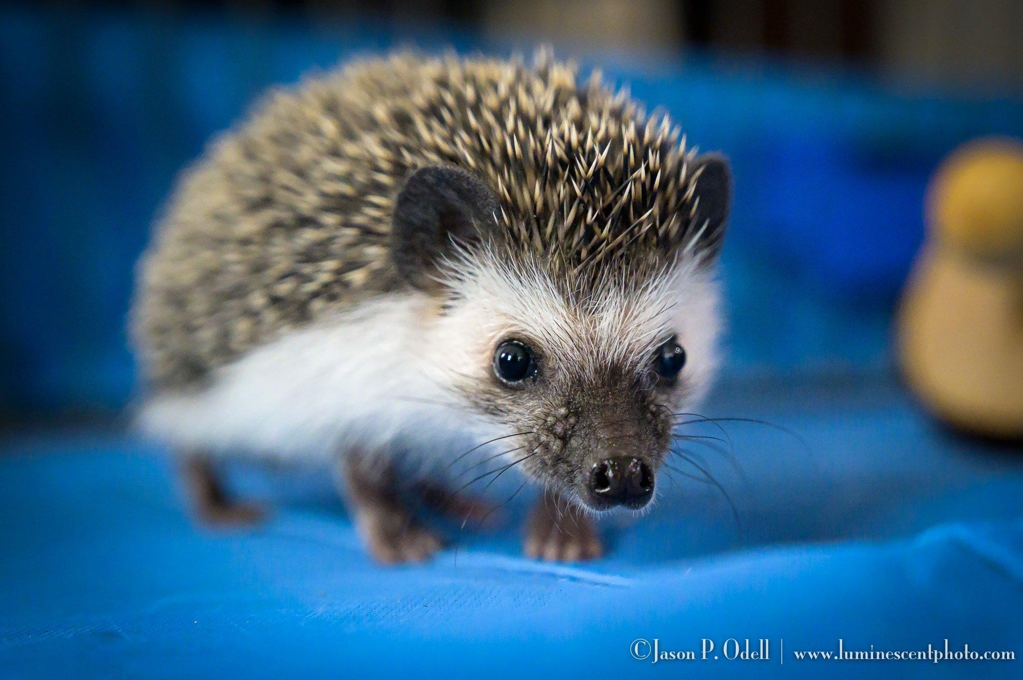 Lemmy the hedgehog